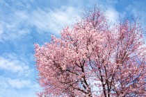 帯広もようやく桜が咲きました。